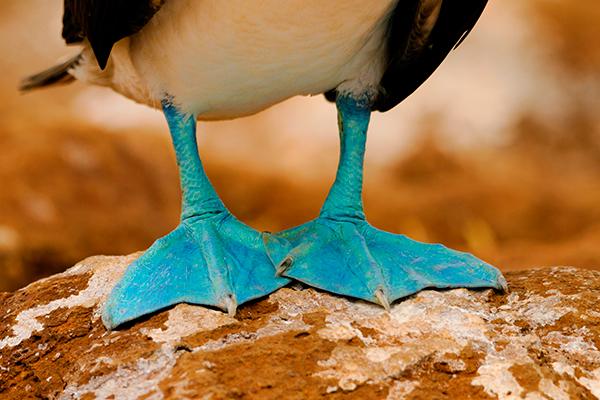 atoba-de-patas-azuis-galapagos
